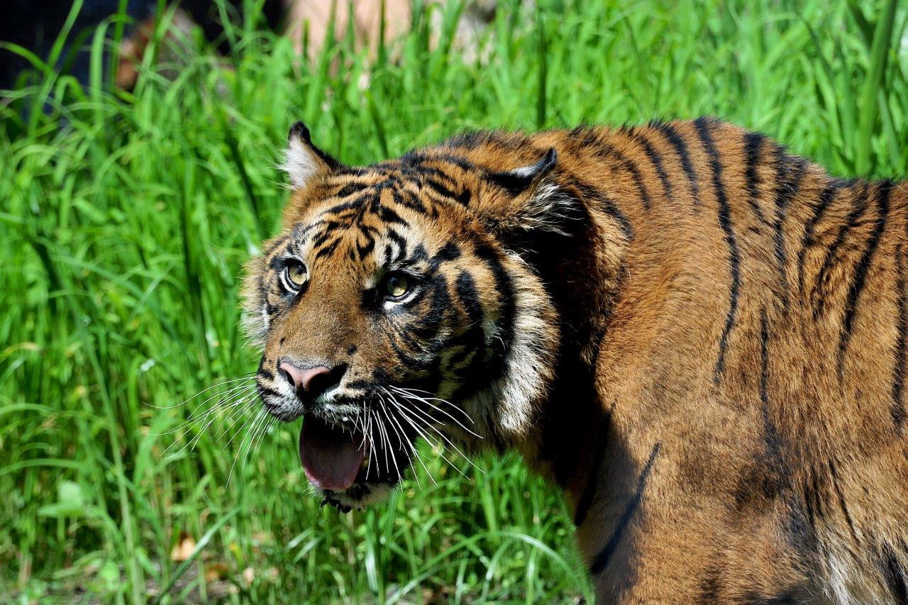 Al bioparco arrivano le tigriadi le olimpiadi dedicate for Disegni delle tigri